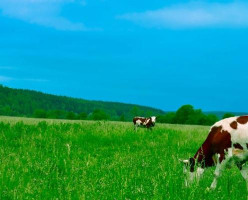 Zuivel kaas melk boter - koeien in de wei| Mijn Keus
